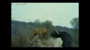 انتقام سخت گاو میش ها از شیر