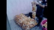 مرغ کنتاکی همشهری