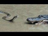 شکار پیتون توسط تمساح