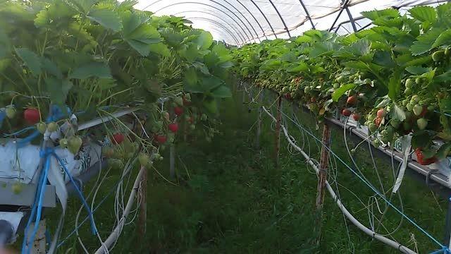 تولید توت فرنگی در روش کشت بدون خاک
