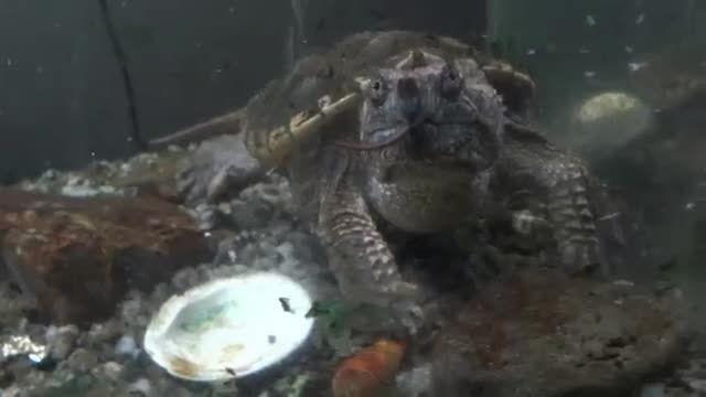 خوردن موش زنده توسط لاکپشت