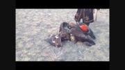 شکارچی که شکار شد، شکار یک گرگ توسط دو عقاب