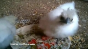 جوجه مرغ های بسیار زیبا - نژاد مینیاتوری