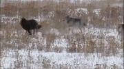 جنگ قبیله ای گرگ ها