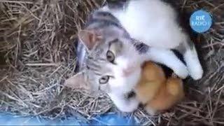 نگهداری جوجه توسط گربه