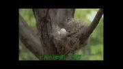 کلیپ بشدت خنده دار دوربین مخفی بادبادک و تخم پرنده