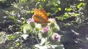 شهد خوردن پروانه شهریار