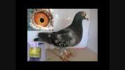 کبوتر پلاکی فرشید