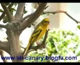 goldfinch سهره سبز
