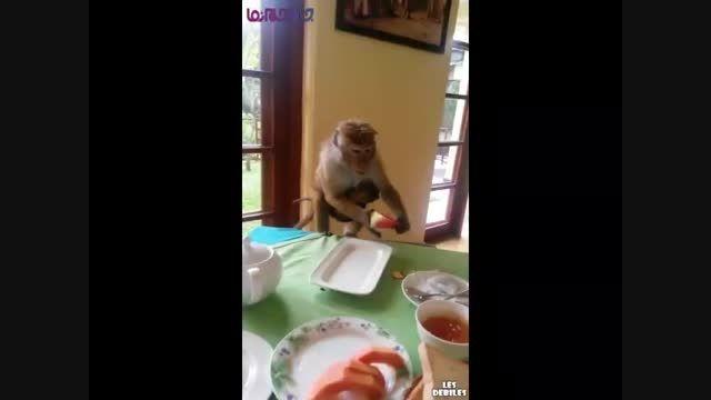 هندوانه خوردن میمون با نان فیلم کلیپ بامزه گلچین صفاسا