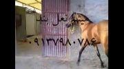 متالیک اسب زیبای دره شور --میثم نعل بند 09137980786