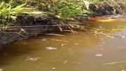 رفتار تخمریزی طبیعی ماهی كوی
