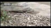 برق مارماهی، تمساح را کشت!