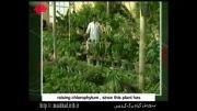 پرورش گیاه برگ گندمی