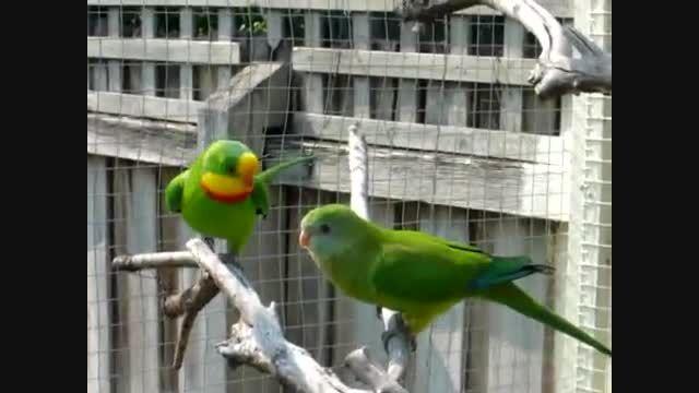 طوطی باشكوه Superb Parrot