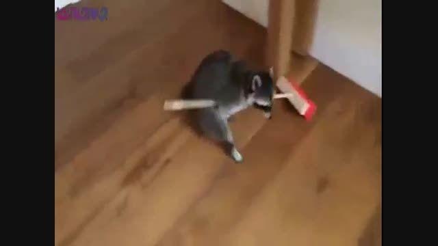 راکون خدمتکار+فیلم کلیپ حیوانات بامزه جذاب گلچین صفاسا