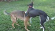 بازی کردن سالوکی و ژرمن شپرد در پارک