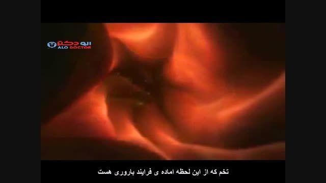 دکتر فریده عرب جهوانی درمان نازایی به شیوه IVF می گوید
