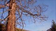 قطع درخت غول پیکر