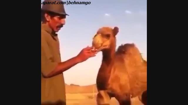 سیگار کشیدن شتر!!!