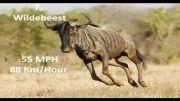 10 حیوان سریع دنیا