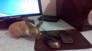 خرگوش جدیدم رو میز کامپیوتر.لقمان مرادی