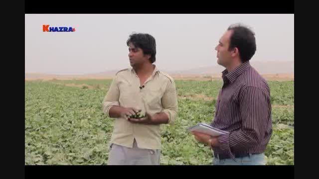 افزایش شگفت انگیز برداشت خیار با نانو کود خضراء