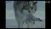 سگ وفادار کمک یاری همنوع دوستی مهربانی+فیلم گلچین صفاسا