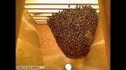 نحوه موم دوزی  طبیعی زنبور عسل بدون برگه موم