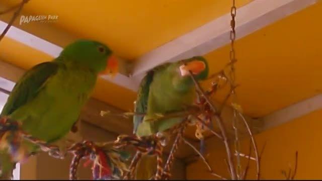 طوطی پشت گردن آبی (Blue-naped Parrot)