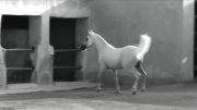 اسب Al Adeed Al Shaaqab