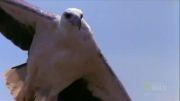 شكار سمی ترین مارها توسط عقاب