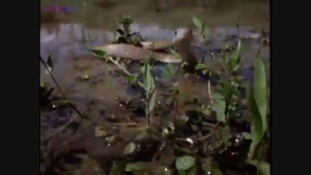 اولین شکار بچه مار کبرا+ویدیو کلیپ فیلم دیدنی جذاب