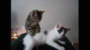 گربه ای که گربه دیگر را ماساژ میدهد!فوق العاده خنده دار