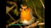 آواز خوانی بسیار زیبای فنچ سینه سرخ
