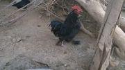 مرغ و خروس نژاد چینی