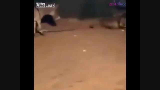 شیری که از الاغ لگد می خورد+فیلم ویدیو کلیپ