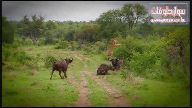 به فنا رفتن شیر در درگیری با گاو وحشی!