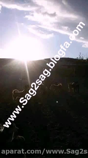 مجموعه پرورش سگ گارد و نگهبان 09130780428 یعقوبی