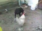 جنگ خروس و سگ