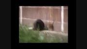 موش های گنده روسی به گربه ها حمله میكنند!!!