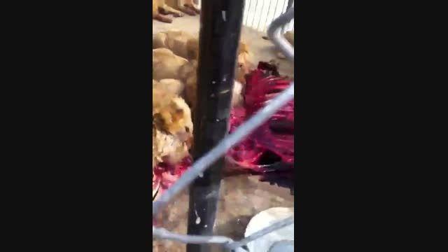 خوردن شتر توسط شیر