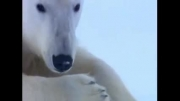 مستند خرس قطبی نحوه شکار کردن و دیدنی زیبا حیات وحش حسین جگوار
