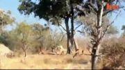 حمله پلنگ:جهش پلنگ از درخت بلند به آهوها