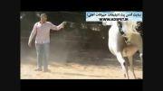 کلیپ تبلیغ فروش اسب -تماس جهت فروش اسبتان: 09191471427