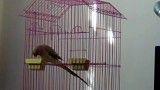 فرار طوطی از قفس