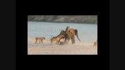 فیلم/ زنده ماندن فیل جوان از حمله 14 شیر