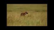عاقبت یوزپلنگی که توله گراز را خورد