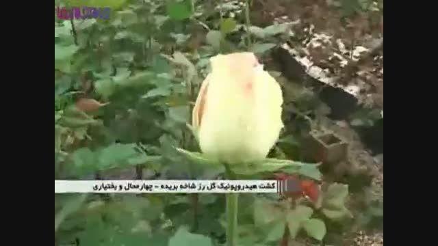 پرورش گل «رز» بدون خاک+فیلم ویدیو کلیپ گل کاری