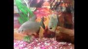 پیرانا (ماهی های گوشت خوار)